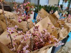 *りんごの里* 桜 おうちでお花見♪