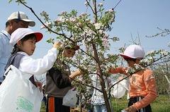 果樹の摘花(花摘み)