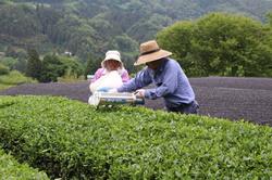 かぶせ茶の収穫する原田さん夫婦