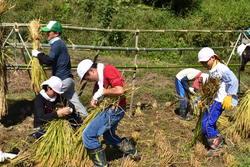 稲を束ねる生徒たち