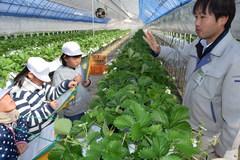 小学生が特産のイチゴの栽培ハウスを見学