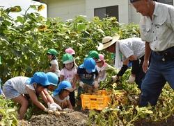 一生懸命収穫作業する園児