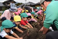 青年部と一緒に芋掘りをする園児