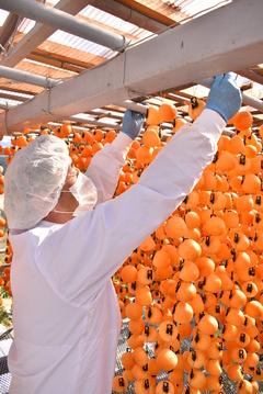 市田柿の収穫・加工がピーク