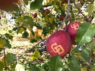 昨年の『勝利のりんご』収穫間近の様子
