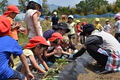 青年部が支援する4園合同のさつまいも苗植え