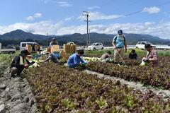 JA経営参画のきっかけに 青年部とJA職員が行うレタスの収穫作業