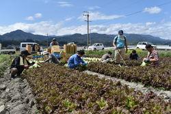 青年部と職員が行ったレタスの収穫