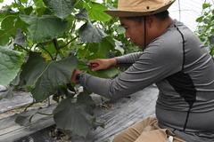 研修生きゅうり初収穫 JAみなみ信州担い手就農研修制度