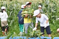 小学生トウモロコシ収穫体験 JA三穂青年の会の食育