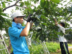 JA全職員が市田柿を農業研修 生産者との対話活動に役立てる