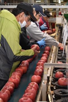 サンふじ選果始まる/仕上がり良好、食味のいいりんご