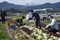 【NEWS】青年部とJA職員が行うレタスの収穫作業