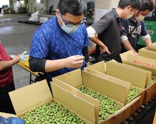 小梅の品質を確認しながらの出荷作業