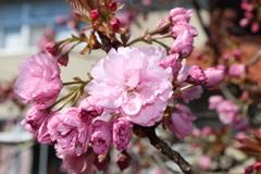 【NEWS】八重桜「関山」集荷 最盛期を迎える