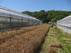 【NEWS】フレッシュミズグループ「スピカ」7年目の麦刈り