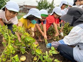 ジャガイモを掘り起こす女性部員と園児ら