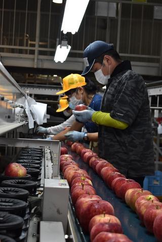 一つひとつ目視で確認するりんごの選果