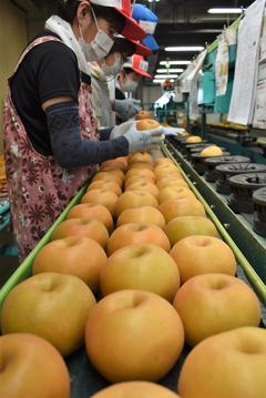 【NEWS】果汁が豊富で甘い赤梨「南水」集荷開始