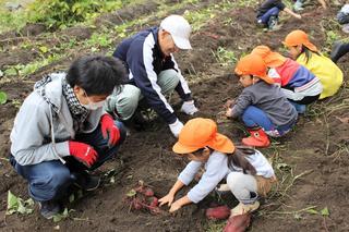 慎重に芋を掘り出す園児