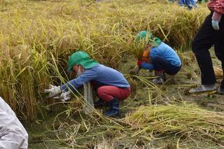 懸命に稲刈りする園児