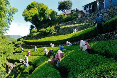 5-4天竜銘茶収穫のころ.png