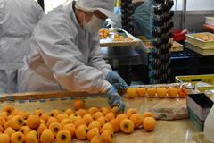 【NEWS】特産市田柿の収穫・加工が最盛期