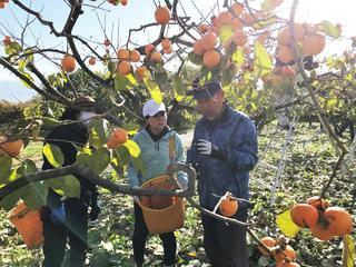 市田柿の収穫方法を習うJA職員