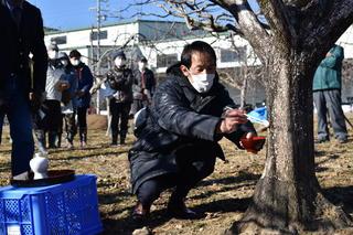 柿の木役で傷口にお粥を塗るJA果実柿課課長