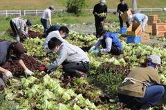 【NEWS】青年部とJA職員が共に汗を流す レタスの収穫作業