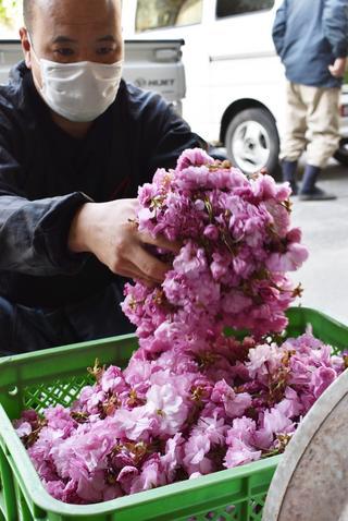 八重桜「関山」の集荷作業