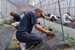 ひとつずつ丁寧に苗の定植を行う研修生
