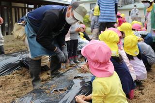 青年部員とジャガイモの苗植えをする園児たち