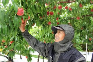 「上々の出来」と桃を収穫する市澤さん