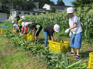 とうもろこしの収穫をする児童ら