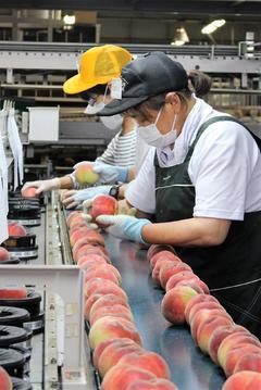 【NEWS】みなみ信州の共選果実の出荷始まる スタートは「桃」