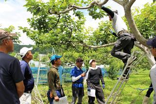市田柿の摘果について説明を受ける研修生
