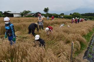 一束ずつ丁寧に小麦を刈り取る児童