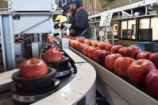 初出荷を迎えた早生リンゴ「シナノリップ」