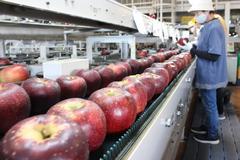 【NEWS】りんご「秋映」出荷始まる 順調な仕上がりで中生種スタート
