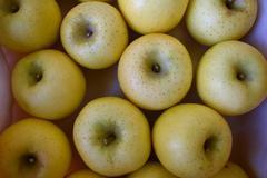 シナノゴールド(りんご)の選果がはじまりました