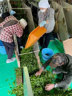 お茶の収穫シーズン到来!!