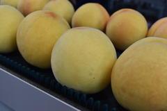 晩生種「黄金桃」初出荷